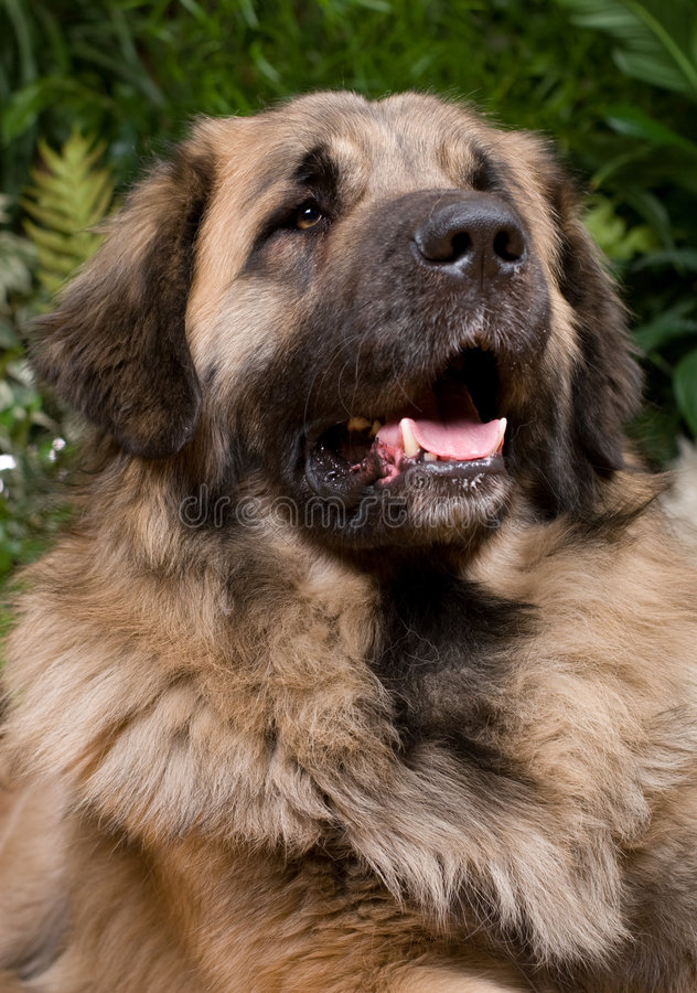 gro er hund leonberger stockfoto bild von tier freund. Black Bedroom Furniture Sets. Home Design Ideas