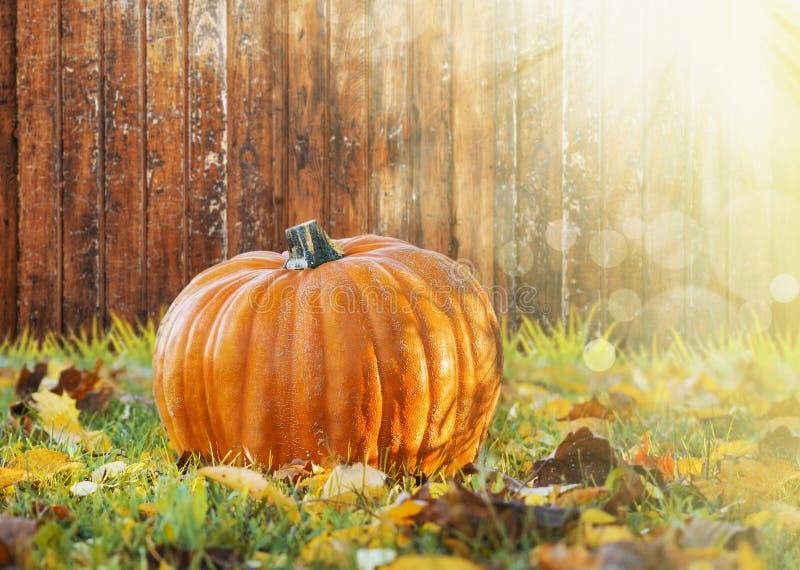 Großer Kürbis auf Bretterzaun im Gras mit Herbstlaub im Sonnenlicht stockfotos