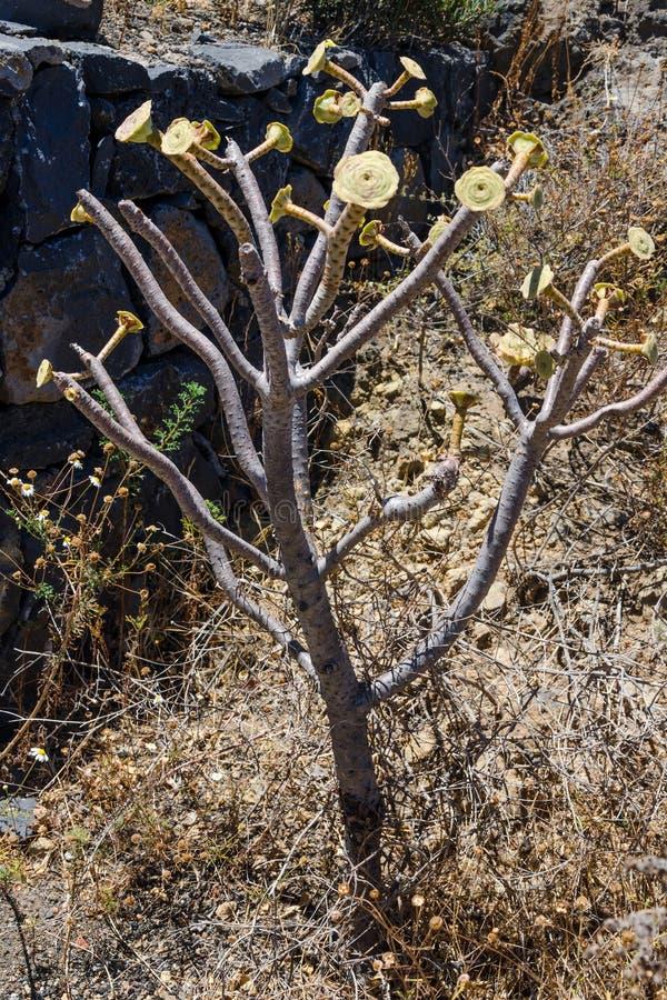 Großer Kaktus im Freien in einer Wüstenlandschaft, Teneriffa, Kanarische Inseln, Spanien lizenzfreie stockfotografie