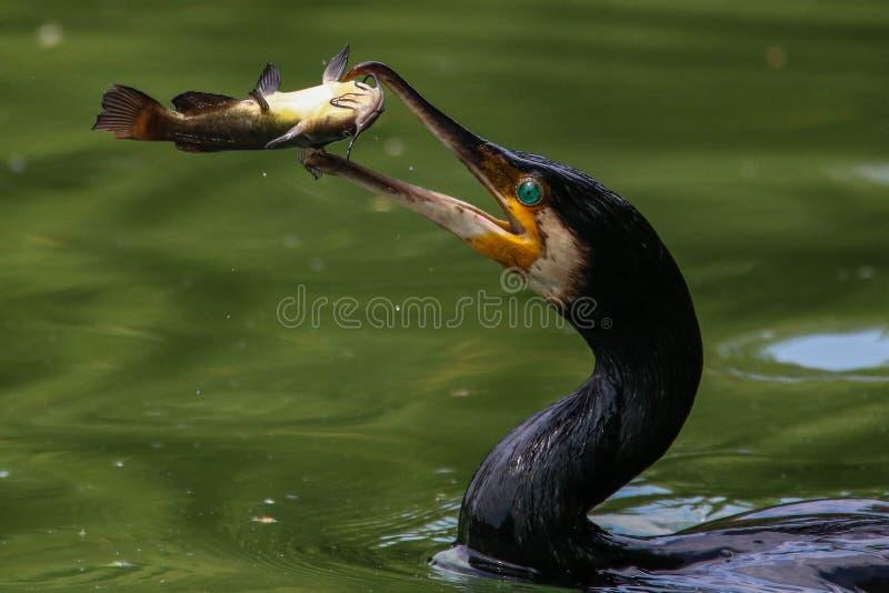 Großer Kormoran, der einen Fisch in der Luft trowing ist Fangende Fische des großen Kormorans lizenzfreie stockfotos