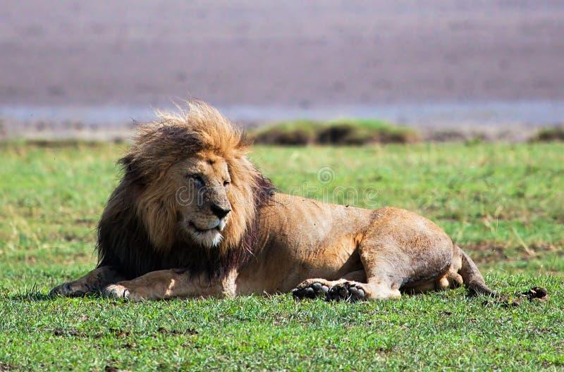 Großer Löwe auf Savanne. Safari in Serengeti, Tanzania, Afrika lizenzfreie stockbilder
