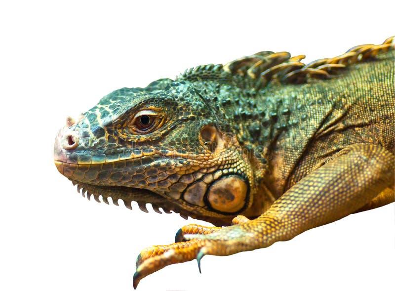 Großer Leguan auf lokalisiert lizenzfreie stockfotos