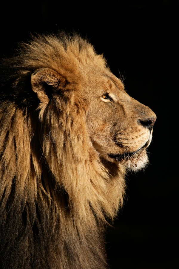 Großer männlicher afrikanischer Löwe stockfotos