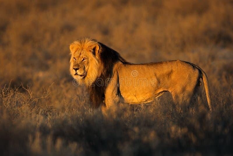 Großer männlicher afrikanischer Löwe lizenzfreies stockfoto
