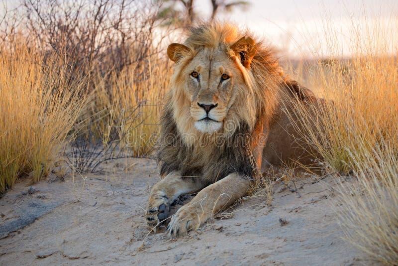 Großer männlicher afrikanischer Löwe lizenzfreie stockfotografie