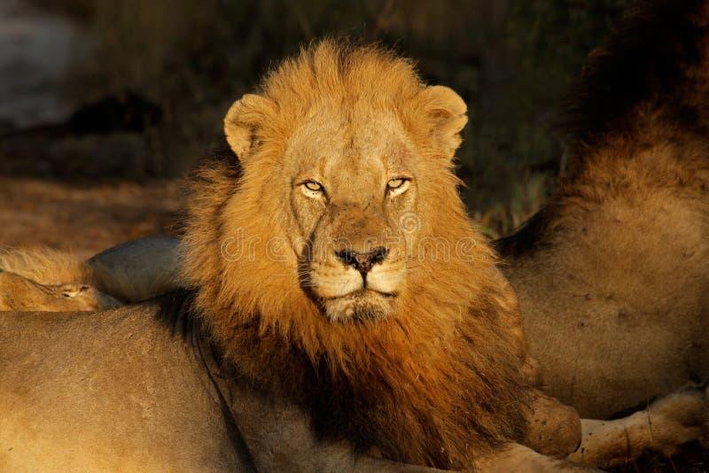 Download Großer Männlicher Afrikanischer Löwe Stockfoto - Bild von outdoor, vorbehalt: 9092868