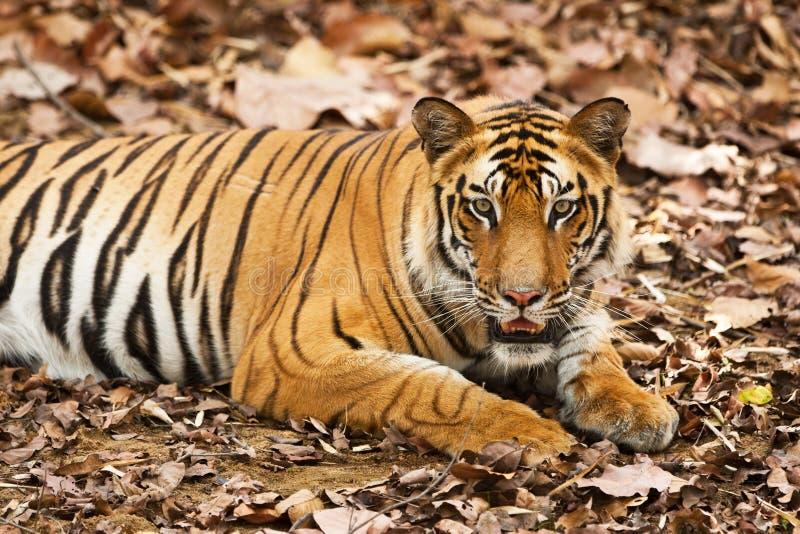 Großer männlicher Bengal-Tiger lizenzfreie stockbilder