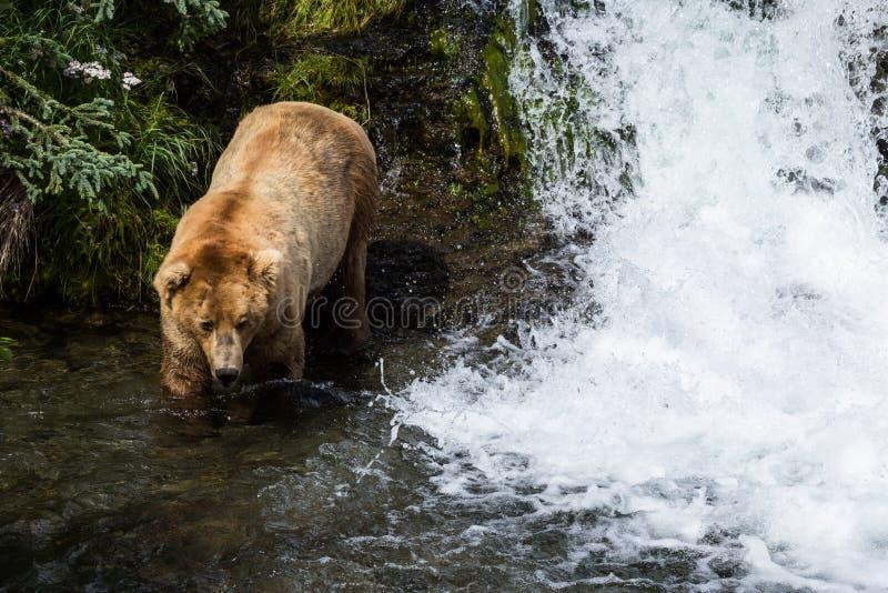 Großer männlicher Graubär, der nahe Fluss und Wasserfall geht lizenzfreie stockbilder