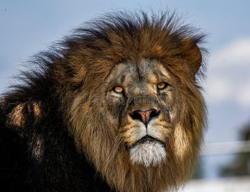 Großer männlicher Löwe lizenzfreies stockbild