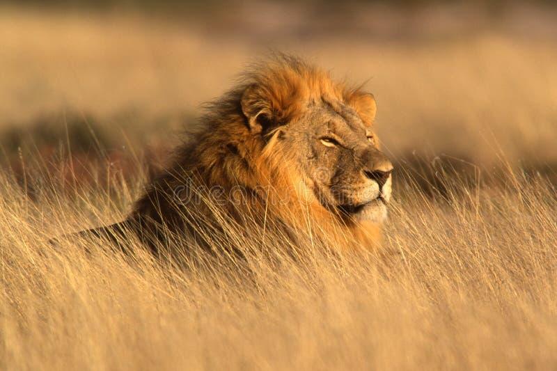 Großer männlicher Löwe lizenzfreie stockbilder