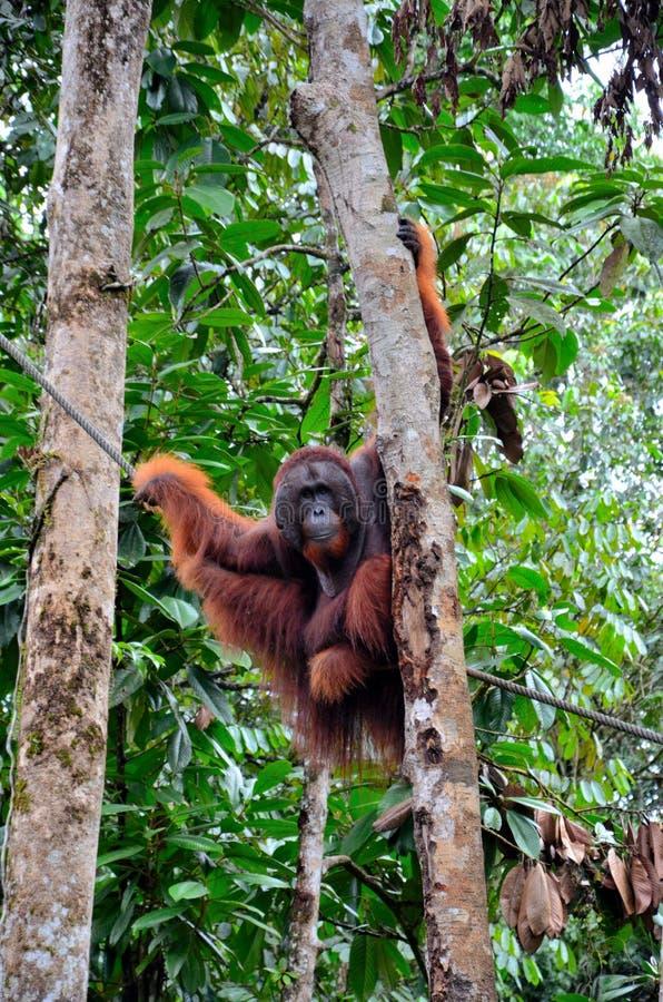 Großer männlicher Orang-Utan Affe hängt an den Bäumen und Seil playfully am Semenggoh-Naturreservat-Schongebiet Kuching Sarawak M lizenzfreie stockfotografie