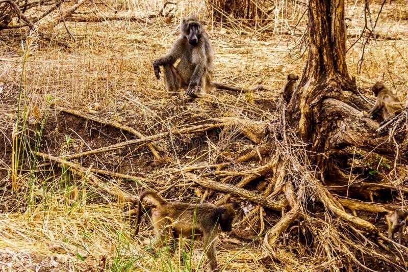 Großer männlicher Pavian mit jungen Pavianen in Dürre getroffenem Bereich zentralen Nationalparks Kruger stockbilder