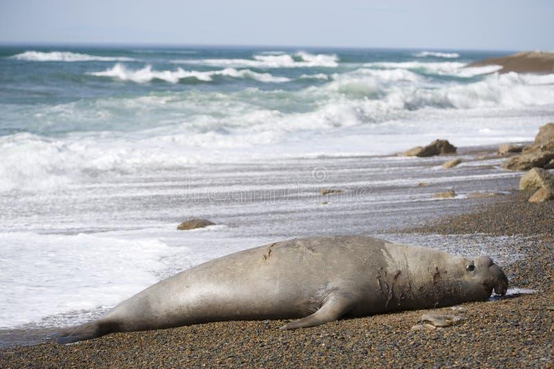 Großer männlicher Seeelefant, Patagonia, Argnentina. lizenzfreie stockbilder
