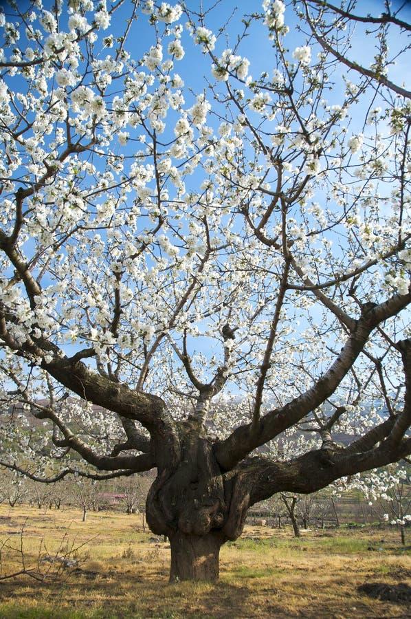 Großer Mandelbaum stockfoto