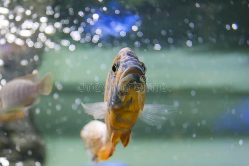 Großer orange-schwarzer Karpfen im klaren Wasser lizenzfreies stockfoto