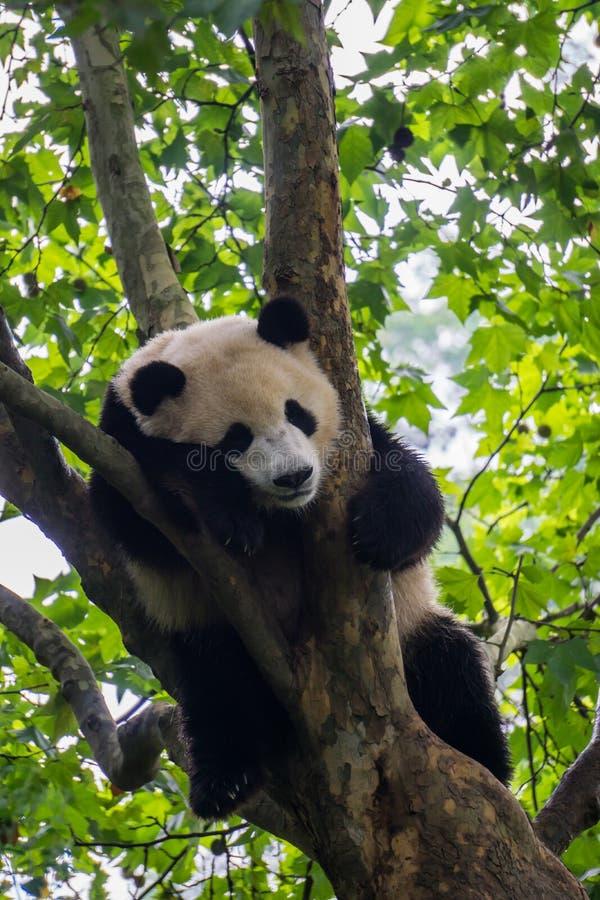 Großer Panda, der in einem Baum schläft stockbild
