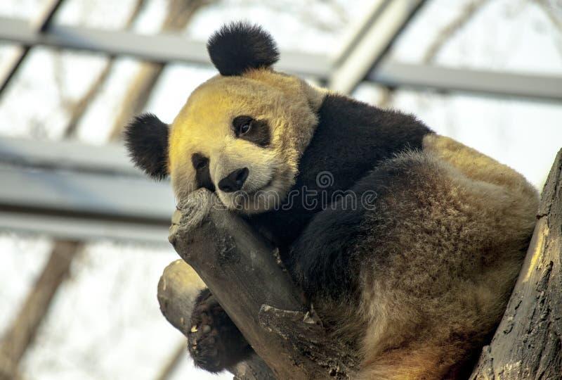 Großer Panda, der in einem Baum schläft Pandanahaufnahme lizenzfreie stockfotos