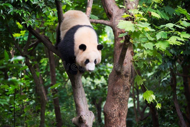 Großer Panda in einem Baum lizenzfreies stockbild