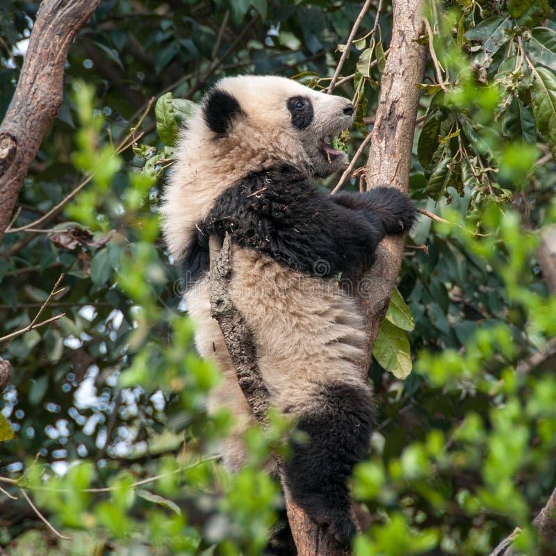 Großer Panda im Baum stockbilder