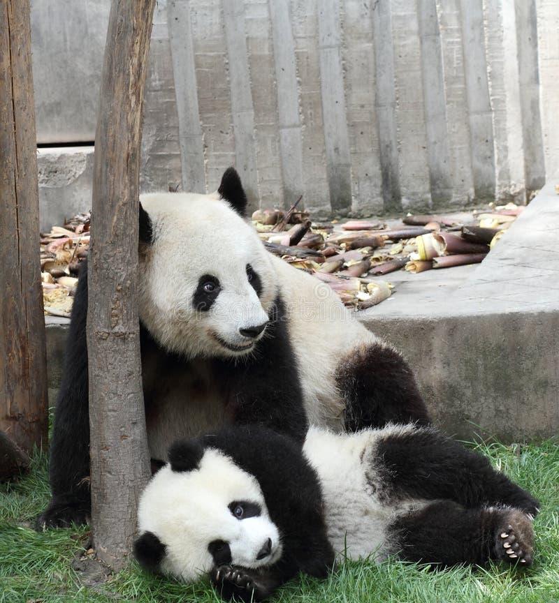 Großer Panda mit seinem Jungen stockfotografie