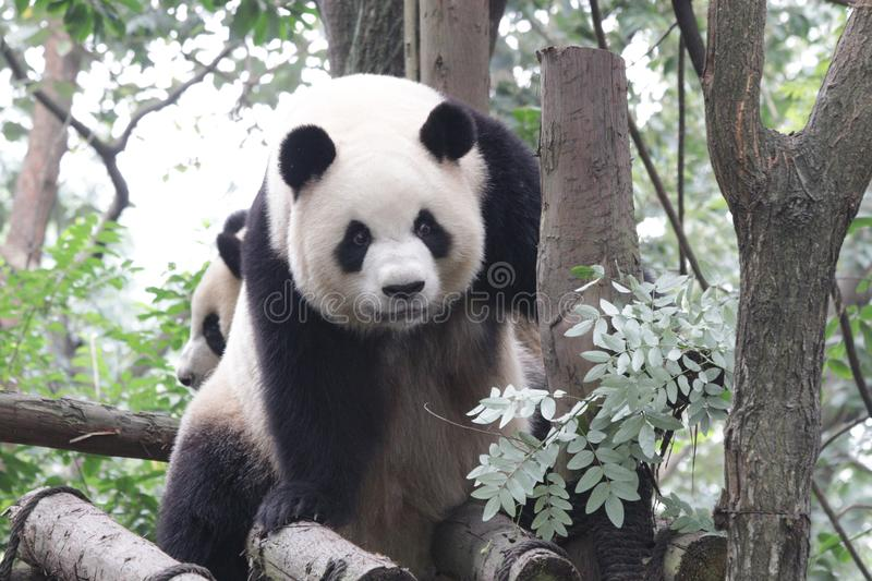 Großer Panda in Peking-Zoo, China lizenzfreies stockfoto