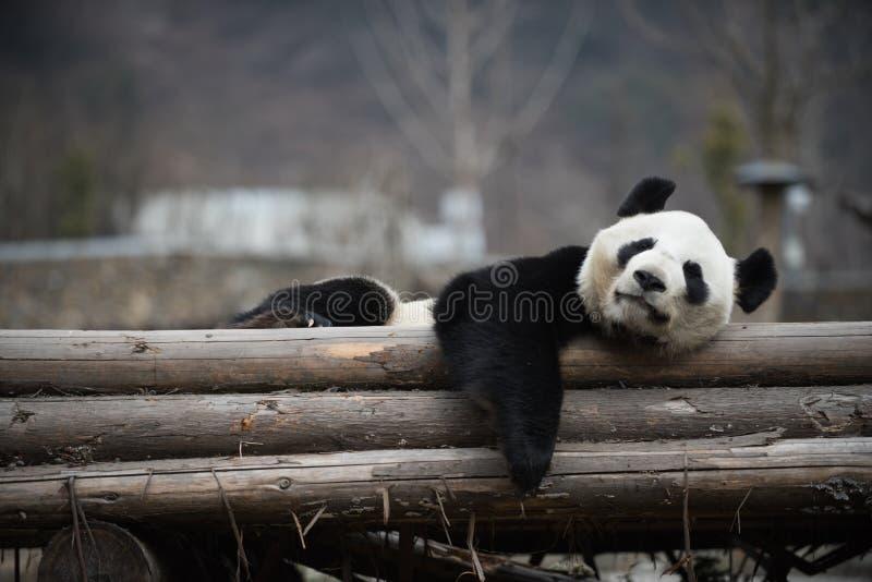 Großer Panda in Porzellan WoLong Sichuan lizenzfreies stockbild