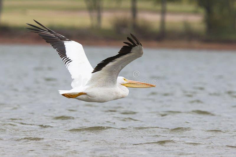 Großer Pelikan über See Hefner in Oklahoma stockbilder