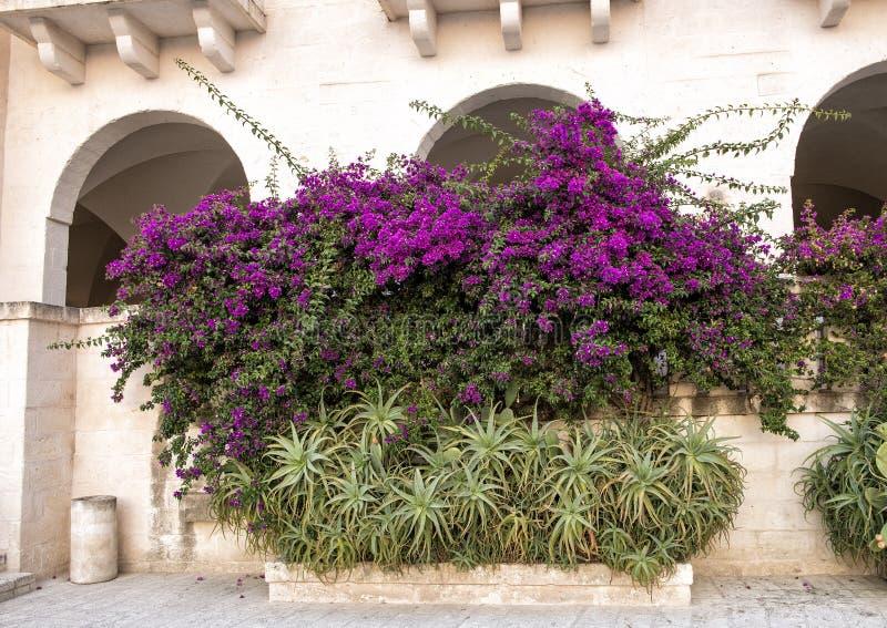 Großer purpurroter Bouganvillabusch an Erholungsort Borgo Egnazia stockbild