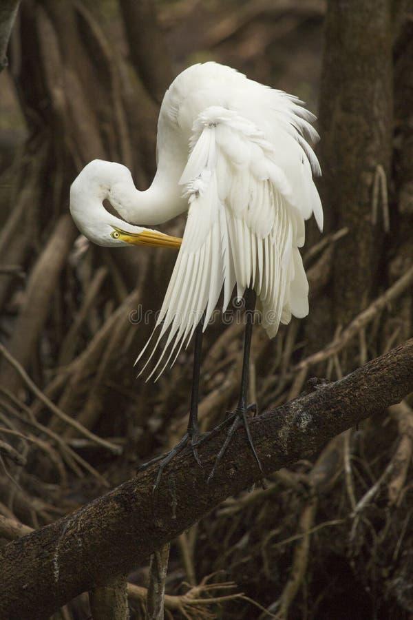 Großer Reiher, der auf einer Niederlassung sich putzt in Florida-` s Sumpfgebiet steht stockfoto