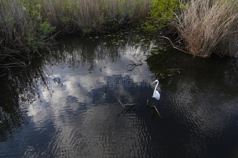 Großer Reiher im Everglades-Nationalpark lizenzfreie stockfotos