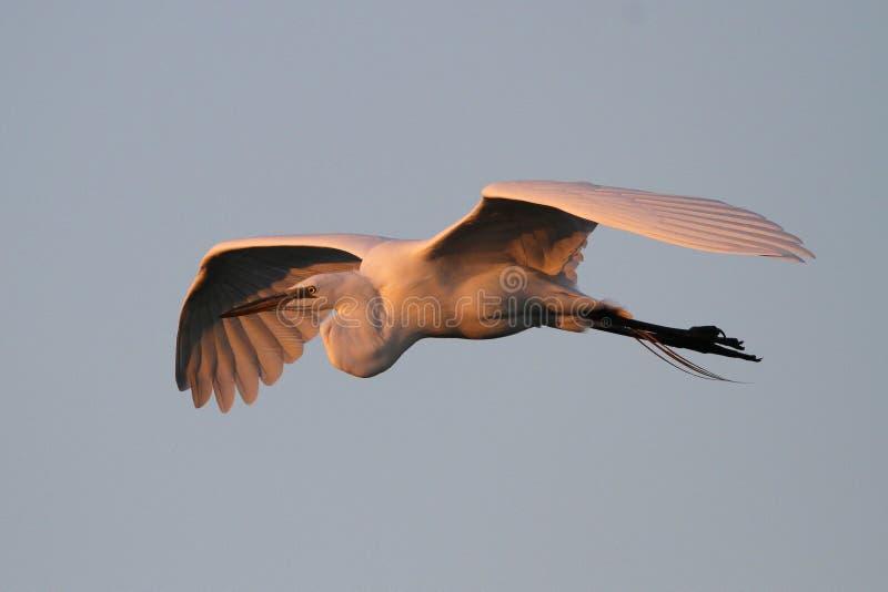 Großer Reiher im Flug bei Sonnenuntergang lizenzfreies stockfoto