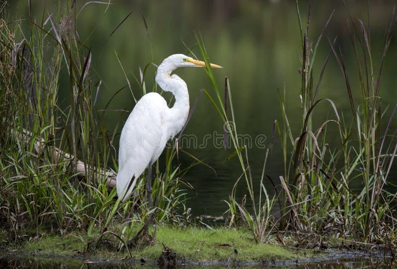 Großer Reiher im Sumpfgebietsumpf-Lebensraumökosystem stockfotografie