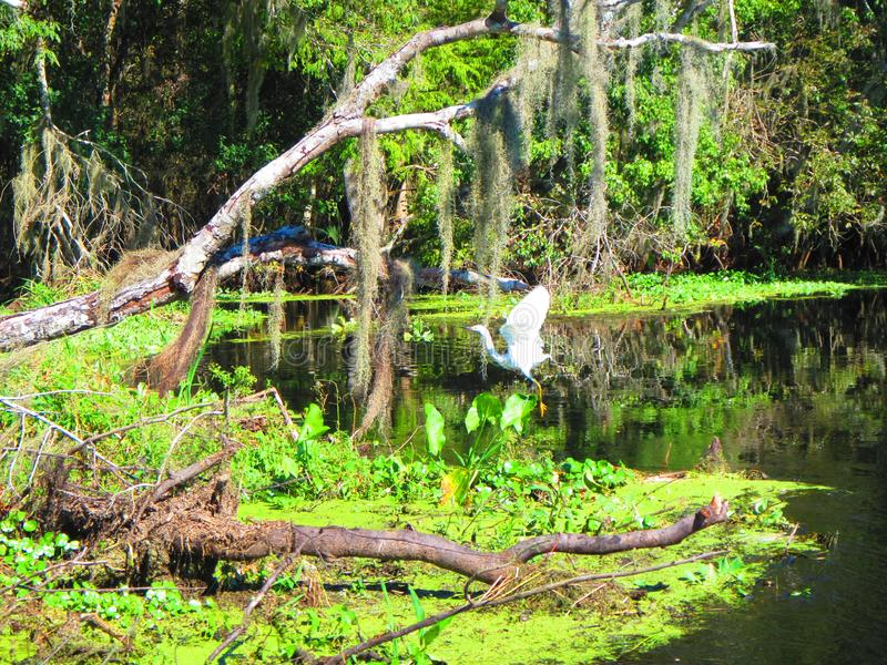 Großer Reiher nimmt Flug entlang der Bank von einem Florida-Fluss stockbild