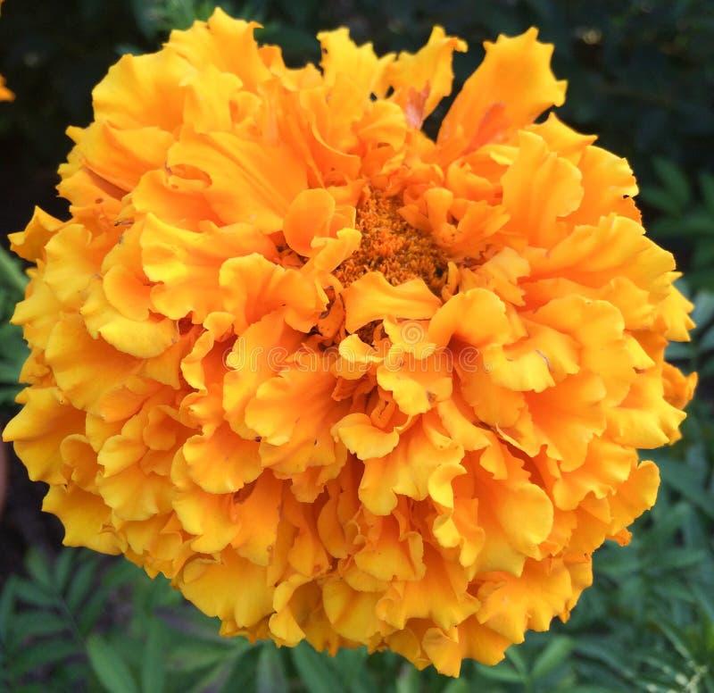 Großer riesiger orange Ringelblumenblumenabschluß oben lizenzfreie stockfotos