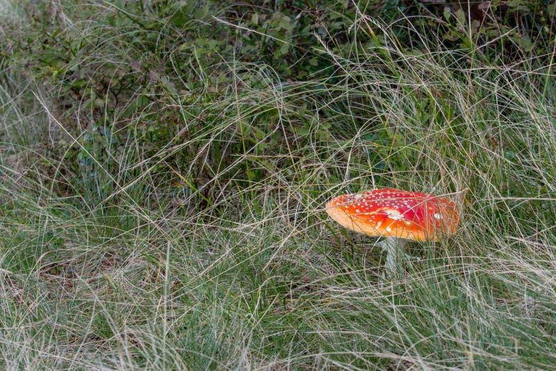 Großer roter Fliegenpilz im Gras Schönes wachsendes Wulstling muscaria Giftpilzkonzept Autumn Harvest stockfotografie