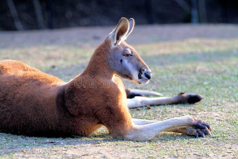 Großer roter Känguru im Ruhezustand lizenzfreies stockbild