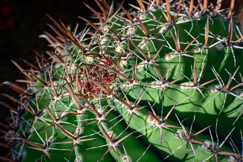 Großer runder Kaktus, Abschluss oben, selektive Ansicht stockfotografie