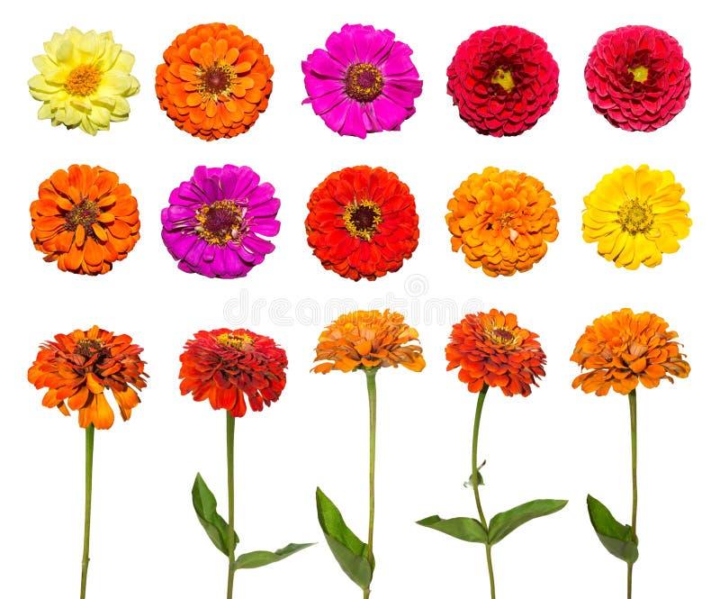 Großer Satz der Zinniablume lokalisiert auf weißem Hintergrund Rote, rosa, purpurrote, gelbe Blumen stockfotos