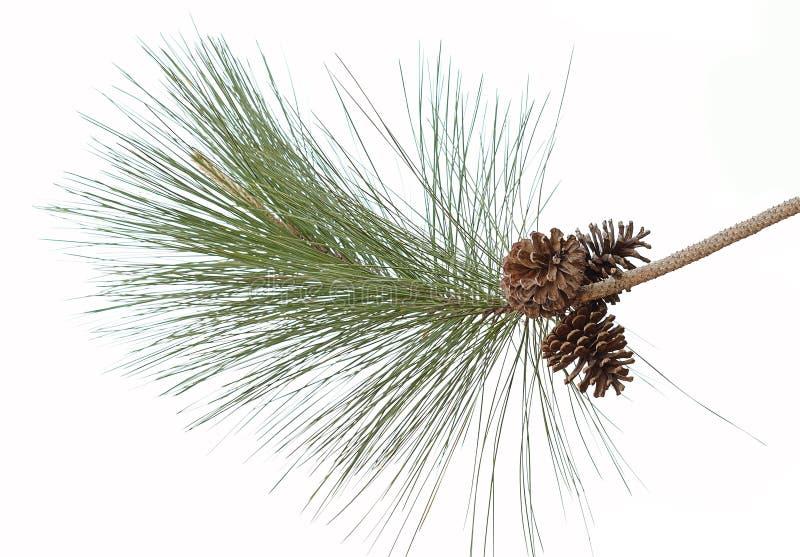 Großer Satz Kegelverschiedene Koniferenbäume lokalisiert auf Weiß stockfotografie