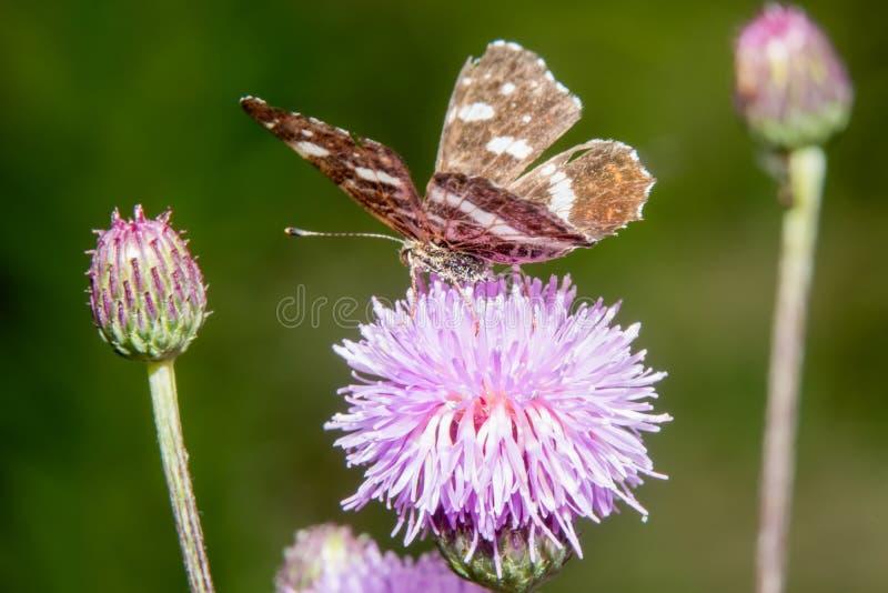 Großer Schmetterling Browns auf Blume stockbild