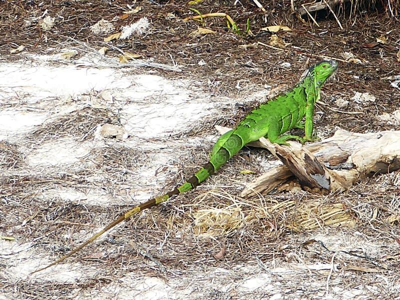 Großer Schuß für vertikale Auslegung Nationalpark von Bahia Honda, grüner Leguan stockfotografie