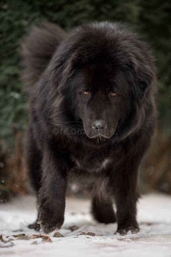 Großer schwarzer tibetanischer Mastiff in der grünen Winternatur lizenzfreie stockbilder