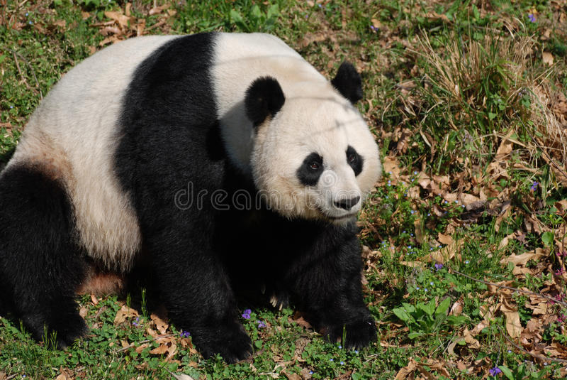 Großer Schwarzweiss-Riese Panda Bear Sitting lizenzfreies stockbild