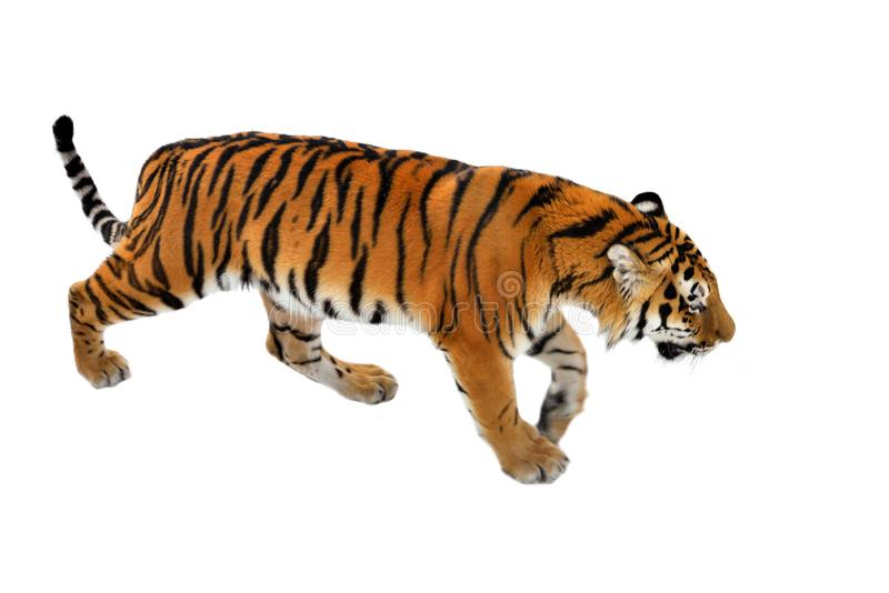 Großer sibirischer Tiger P T altaica, alias Amur-Tiger lizenzfreies stockbild