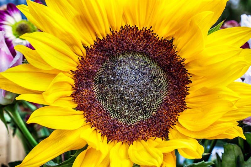 Großer Sonnenblumenkopf angesehen von oben lizenzfreie stockbilder