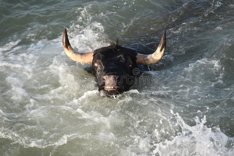Großer Stier im spanischen Meer stockfoto