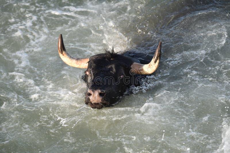 Großer Stier im spanischen Meer stockfotos