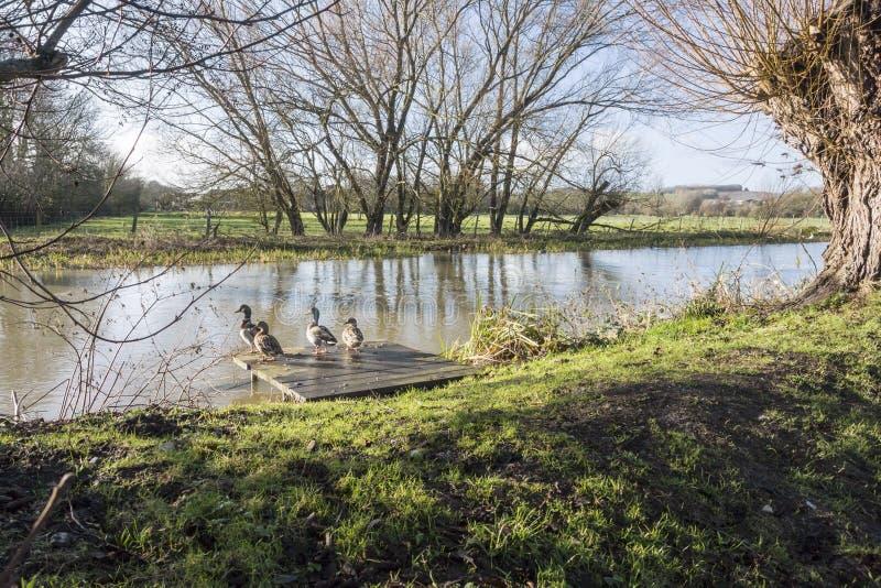 Großer Stour-Fluss, Chartham, Kent, Großbritannien stockbild