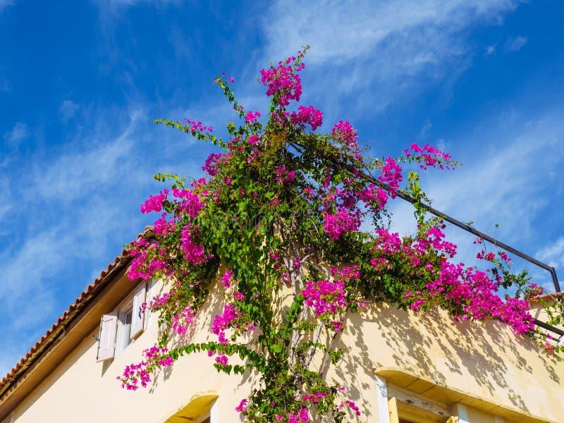 Großer Strauch des Bouganvillablumenwachsens auf der Seite des Hauses lizenzfreies stockbild