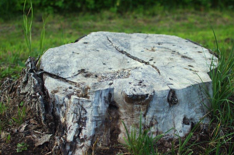 Großer Stummel vom strary geschnittenen Baum lizenzfreies stockfoto
